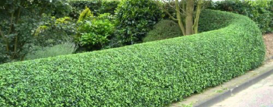 hedge trimming plymouth