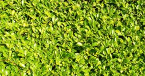 How to Plant Laurel Hedging